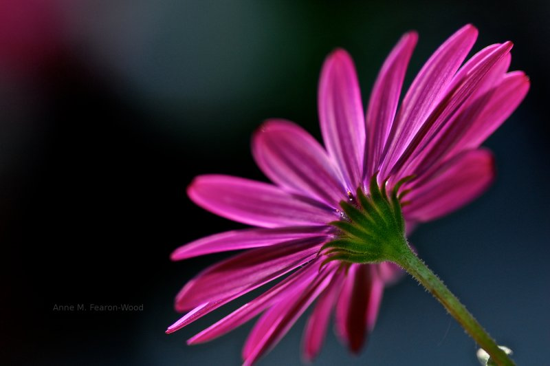 Macro Photography.  Close up photograph of a pink flower.