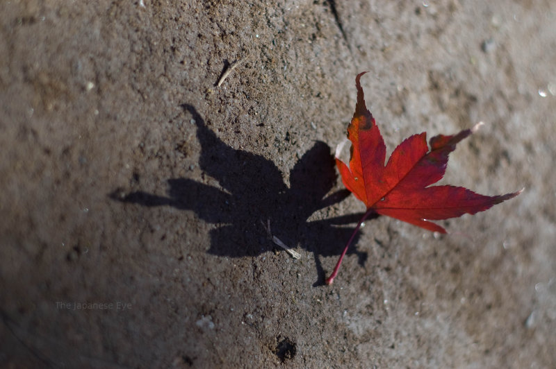 Macro Photography.  Close-up view of a fallen, red leaf.