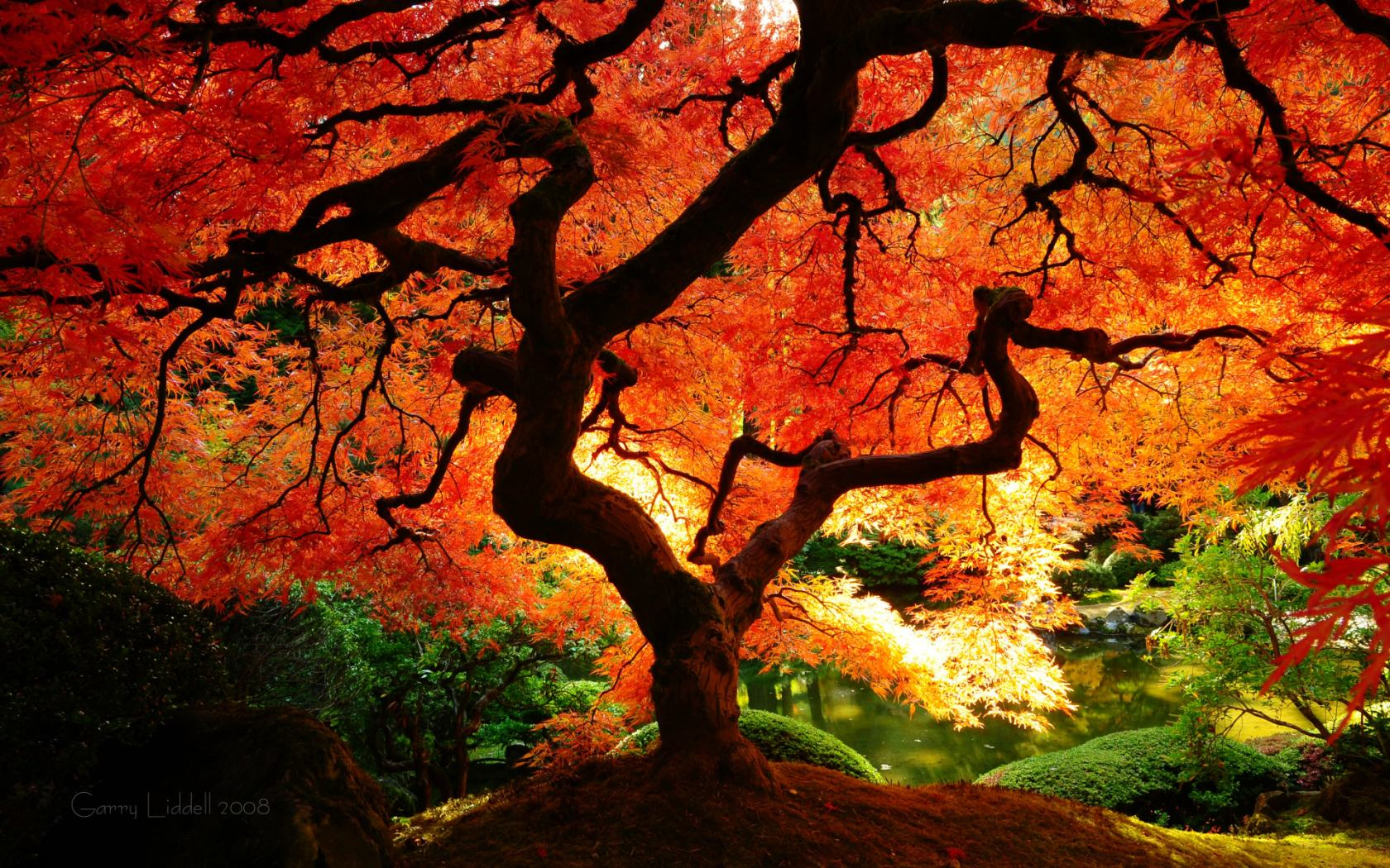 Japanese Maple In Portland Oregon Woahdude