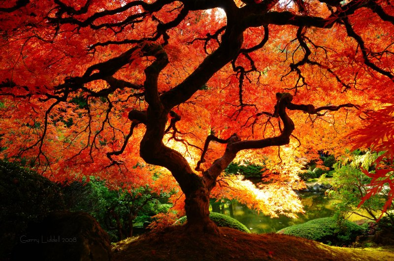 japanese maple bloodgood growth rate. japanese maple bloodgood