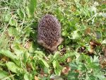 Hedgehog, quills, spines.  Nature picture.