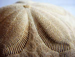 Macro photography.  Close-up of a sand dollar.
