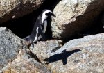 Cape of Good Hope Penguins in South Africa.  Wildlife photography.