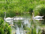 Wildlife photography, Trumpeter Swans, Tamarac National Wildlife Refuge.  Canon PowerShot G7.