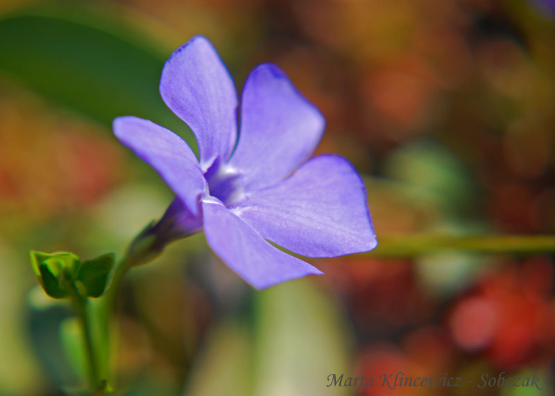 ground cover, drought tolerant, periwinkle.  Nature picture.
