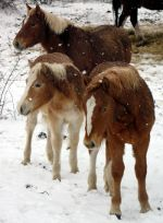 Horses, ponies in snow.  Keep your horses warm.