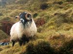 Hairy Sheep in Ireland.