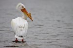 White Pelican, Denver, CO
