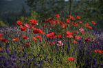 Red Poppies at the Lavender Festival in Sequim, WA.