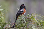 Spotted Towhee.