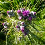 Thistle in Croxley Common Moor, Herts, UK.