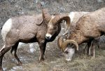 Big horn sheep eating in Montana.