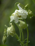 white columbine flowers, dove, soft white.