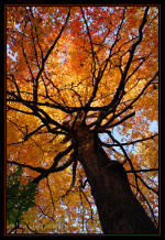 Maple tree, fall colors, fall leaves.  For-Mar Nature Preserve, Burton, MI