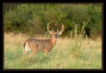 Whitetail buck, for-mar nature preserve, burton, MI.