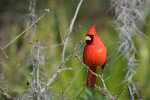Cardinal in Florida.  Tour Florida.  Florida bird watching.