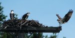 Ospreys at Christie Lake, Perth, Ontario, Canada.