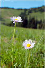 Daisies in Sunrise, Mount Rainier National Park.