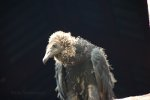 Black Vulture Chick