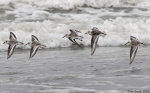 Flying sanderlings against incoming ocean waves.