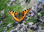 Butterfly on lavender bush in Herefordshire, England.