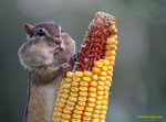 Chipmunk with Corn on the Cob.