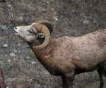 Bighorn Sheep in Montana.