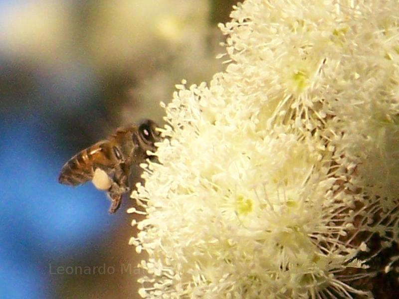 Bee on a Jabuticaba tree in Brazil.