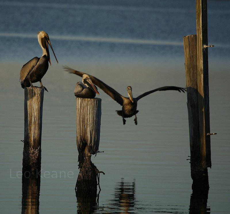 Pelicans on a pier, Moss Point, Mississippi