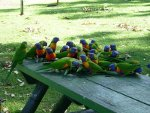 Parrots on a picnic table.
