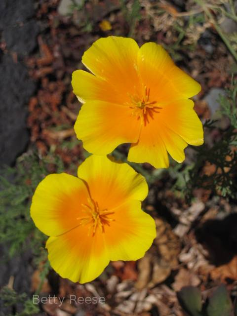 Pretty California Poppy