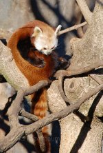 Red Panda in a tree.