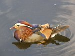Mandarin Duck in London
