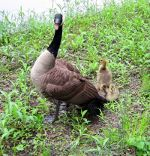 Canadian Goose and gosling