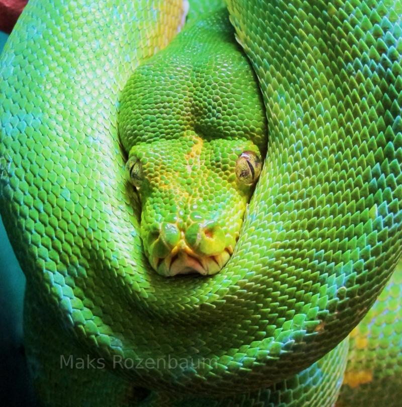 Life Span Of A Green Tree Python Pokemon Go Search For