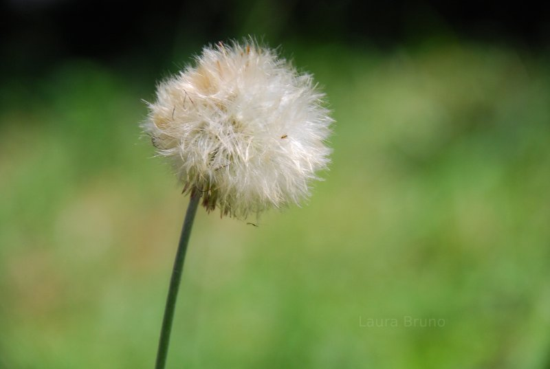 Dandelion seeds in Brazil.