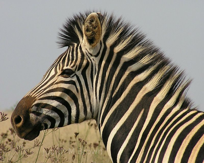 The mouths when relaxed will  Zebra Head Profile