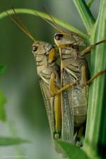 Grasshoppers mating.