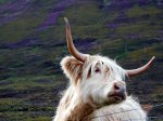Highland Cattle in Scotland.