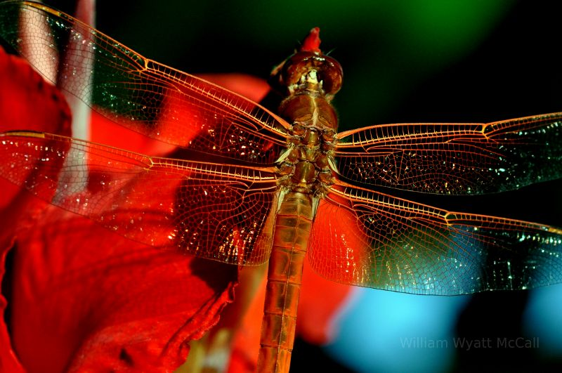Dragonfly in Burbank.