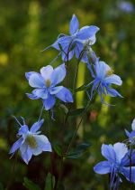 Blue Columbine in Colorado