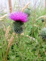 Thistle in Washington