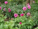 Peonies in bloom!
