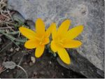 Yellow Crocus flower in Canada