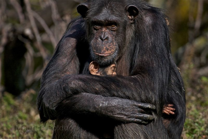 Mother and baby Chimpanzee