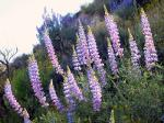 california lupine in california