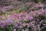 Scottish Heather up close