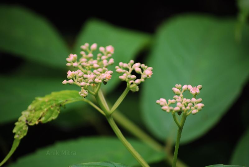 """Flowers about to bloom in Kolad Rain Forest."""