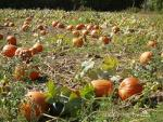 Pumpkins in afarmers field.