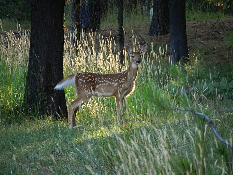 Fawn in the sunset